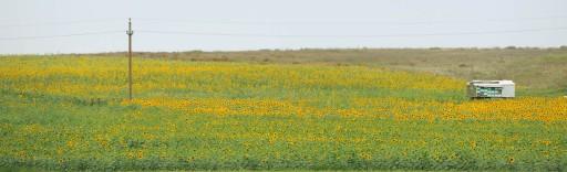 (Aleksandr Pushkin, A Ovidio) | Campos de girasoles en la Dobruja (Rumanía), 2011