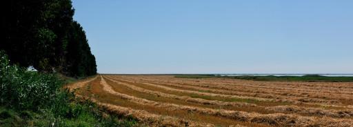 Campo de trigo en la Dobruja (Rumanía), 2011